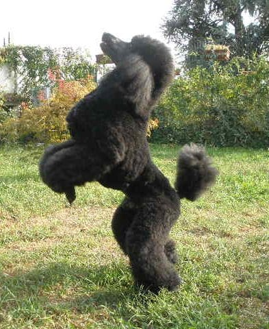 Il barbone ti presento il cane for Carattere barboncino