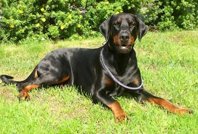 Dobermann_integro
