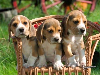 Cuccioli di Beagle