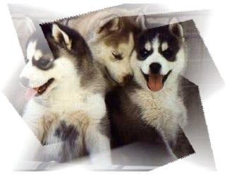 Cuccioli di Siberian Husky
