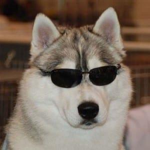 Il vero standard del siberian husky ti presento il cane - Cane occhi azzurri ...