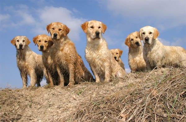 Ti Presento Il Golden Retriever Ti Presento Il Cane