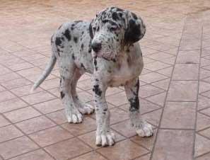 La Credenza Della Nonna Alano : Ti presento il cane cultura cinofila online pagina 291