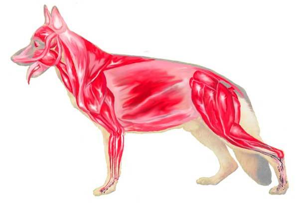 Preparazione atletica e condizionamento conosciamo il for Antinfiammatorio cane