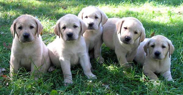 Il Vero Standard Del Labrador Retriever Ti Presento Il Cane