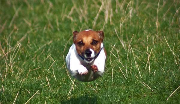 Il Vero Standard Deljack Russell Terrier Ti Presento Il