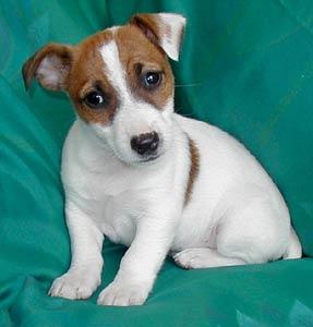 il vero standard deljack russell terrier - ti presento il cane