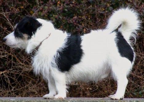 Il vero standard del jack russell terrier ti presento for Jack russel pelo lungo