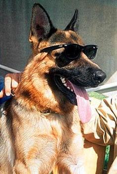 Il Vero Standard Del Pastore Tedesco Ti Presento Il Cane