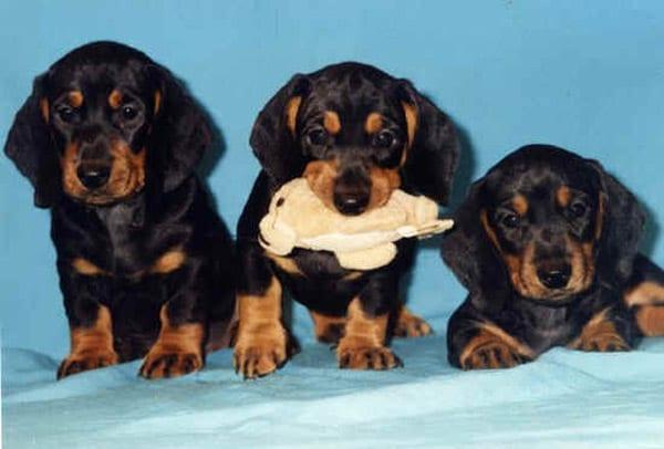 Il vero standard del bassotto ti presento il cane for Bassotto cane