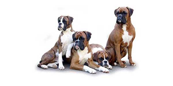 il vero standard del boxer - ti presento il cane