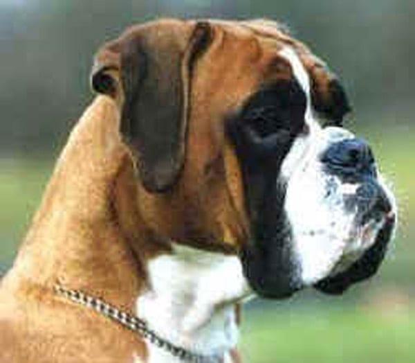 Il Vero Standard Del Boxer Ti Presento Il Cane