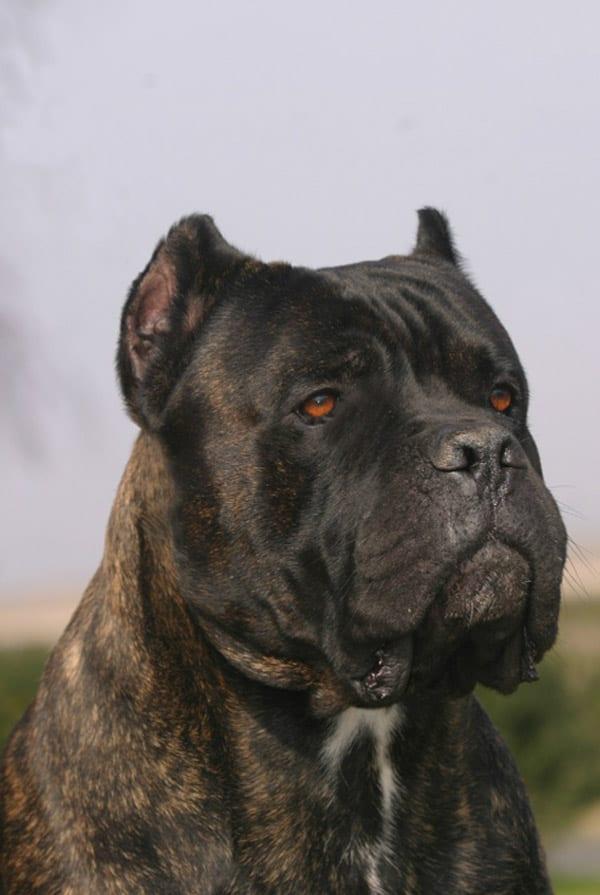 Ti presento il    Cane corso - Ti presento il cane