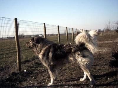 Viviamo Con Un Ciarplanina A Proposito Di Cani Tosti Ti
