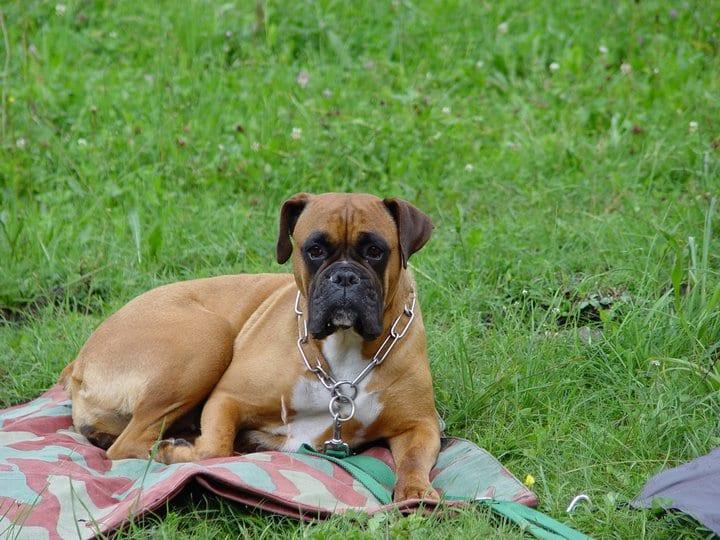 Ideale per labrador e huskie borchiato Collare per cani completamente in pelle sintetica regolabile e largo 5/cm