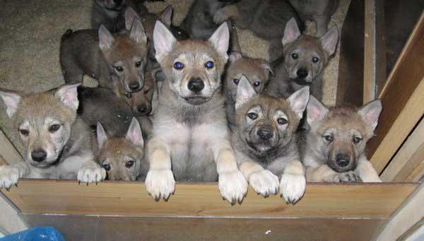 Il Vero Standard Del Cane Lupo Cecoslovacco Ti Presento Il Cane