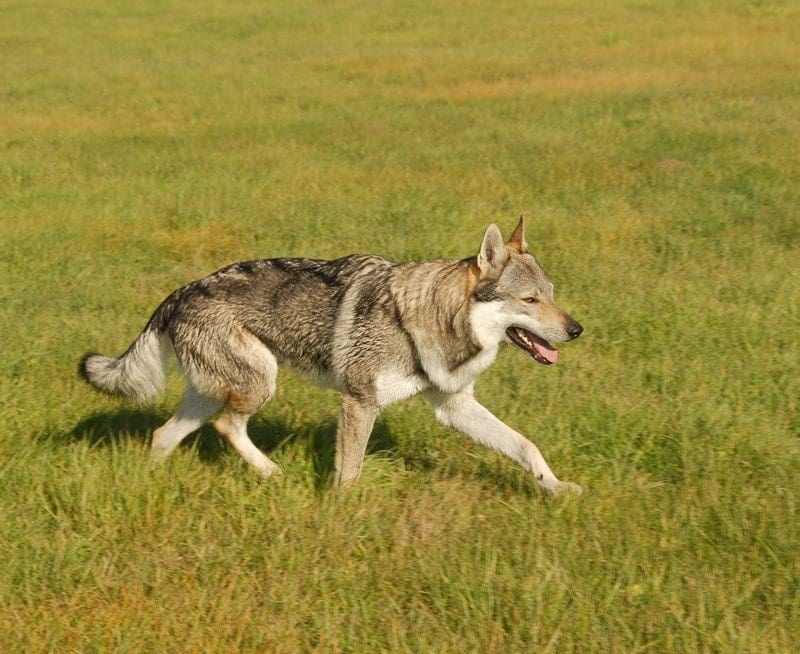Il vero standard del cane lupo cecoslovacco ti for Casa progetta il trotto del cane