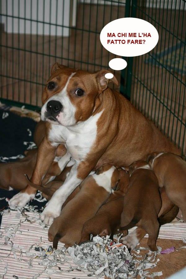 Il Vero Standard Dell American Staffordshire Terrier Ti