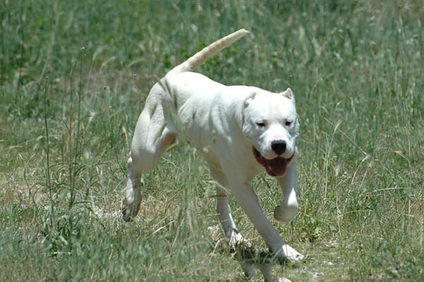 il vero standard del dogo argentino - ti presento il cane