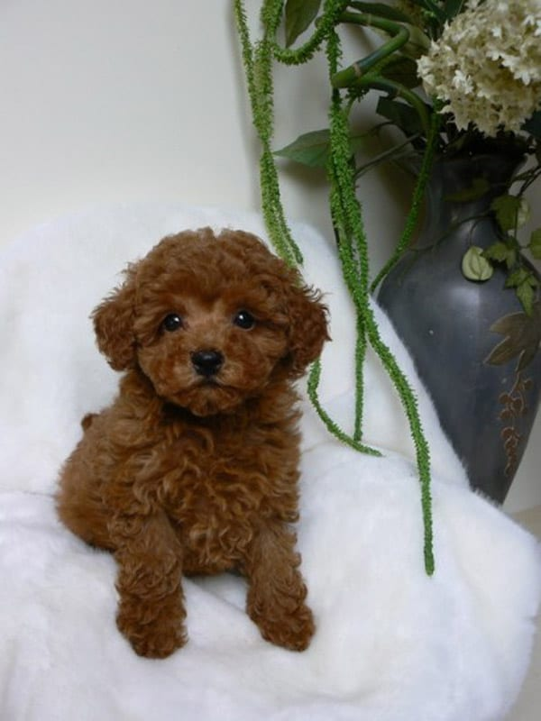 Il vero standard del barbone ti presento il cane for Cane barboncino toy