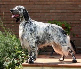 Il vero standard del setter inglese ti presento il cane for Setter carattere