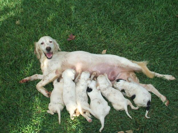 Il Vero Standard Delsetter Inglese Ti Presento Il Cane