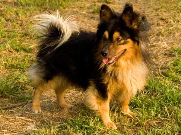 Il volpino nostrano non solo i cani di razza hanno una for Pincher volpino