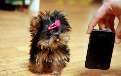 Yorkshire terrier toy vendita