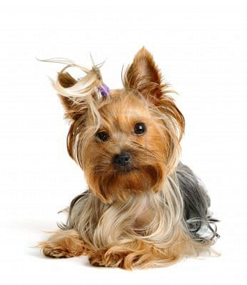cerco sposo per il mio cane yorkshire anunci per adulti roma