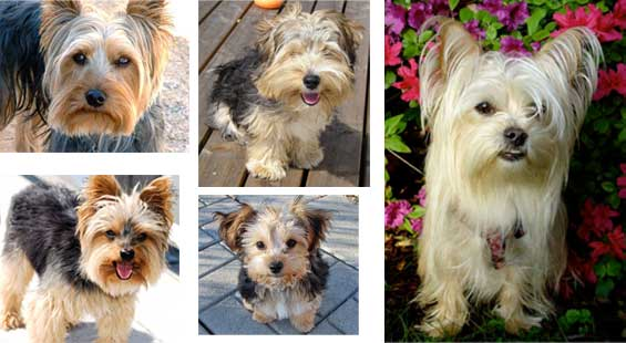 Carini? Ma sì! Simpatici? Certamente! Ma NESSUNO di questi cani è uno  yorkshire terrier.