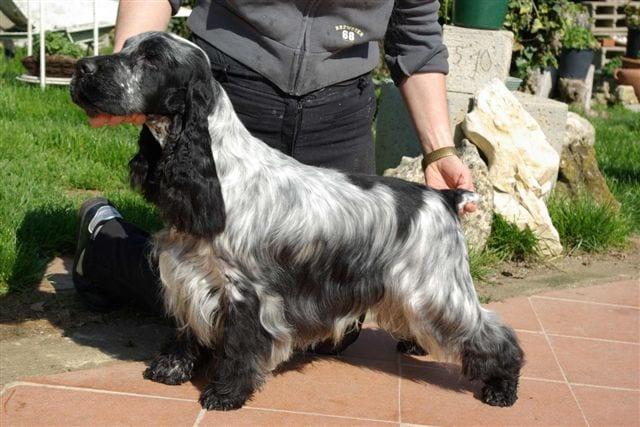 Il Vero Standard Delcocker Spaniel Inglese Ti Presento Il Cane