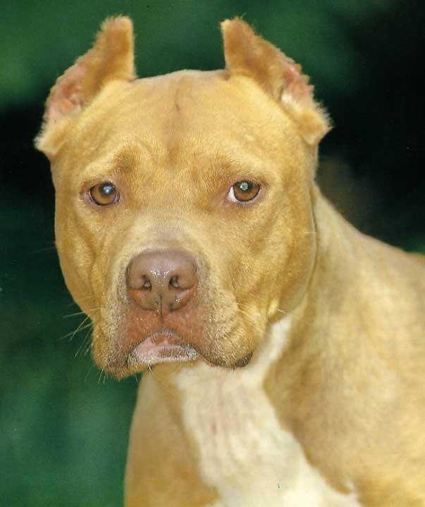 Persone Attaccate Da Pitbull.Ti Presento L American Pit Bull Terrier Ti Presento Il Cane