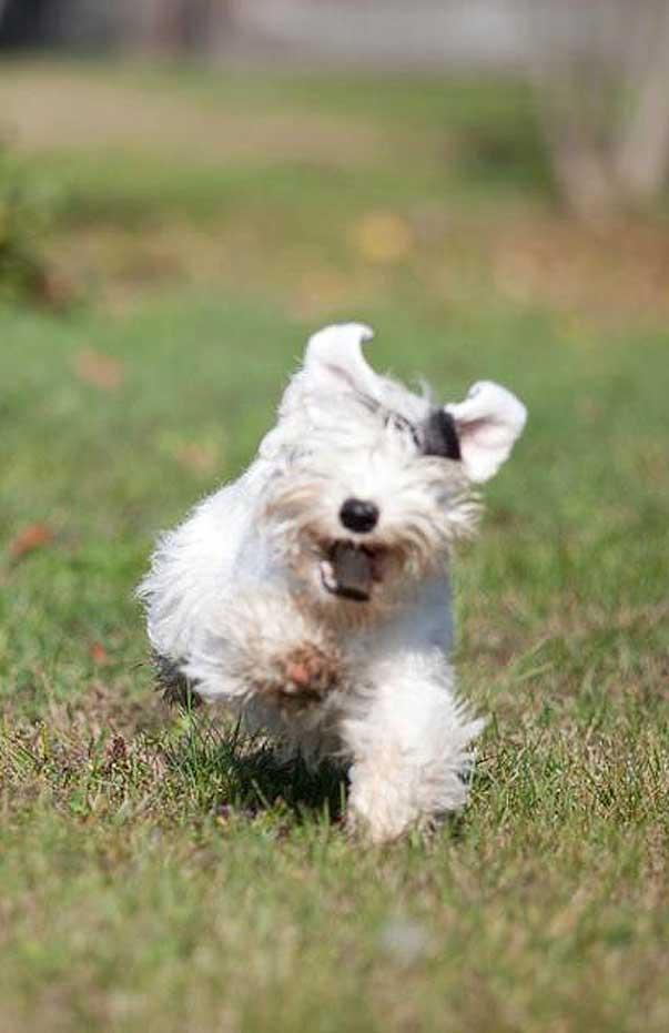 Ti presento il sealyham terrier ti presento il cane for Cani giocherelloni