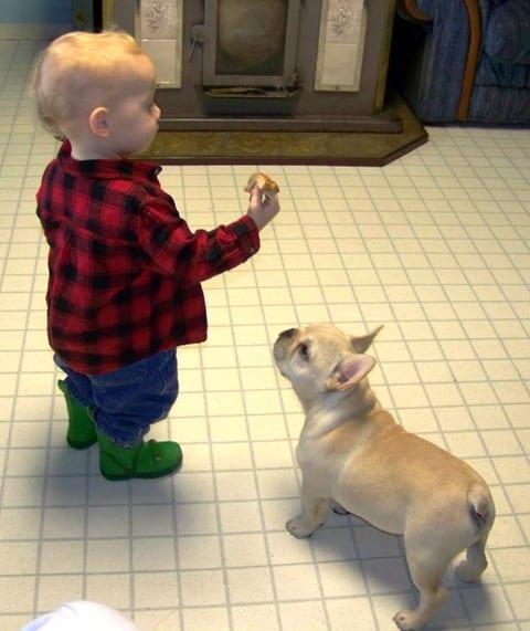 Il Vero Standard Del Bouledogue Francese Ti Presento Il Cane