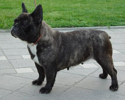 Il vero standard del bouledogue francese ti presento for Bouledogue francese
