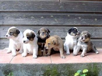 cuccioli-meticci-foto
