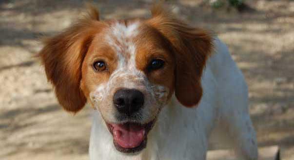 il vero standard dell epagneul breton ti presento il cane