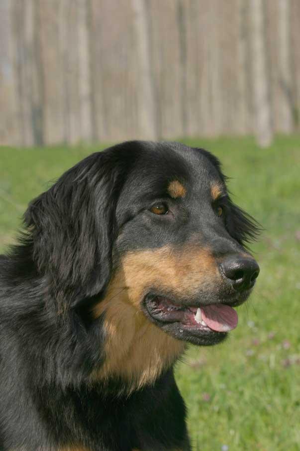 Ti presento l 39 hovawart ti presento il cane for Tequila e bonetti cane razza