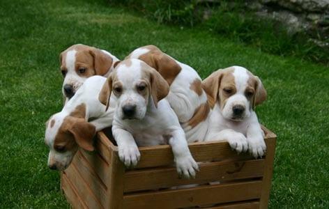 Il Vero Standard Delpointer Inglese Ti Presento Il Cane