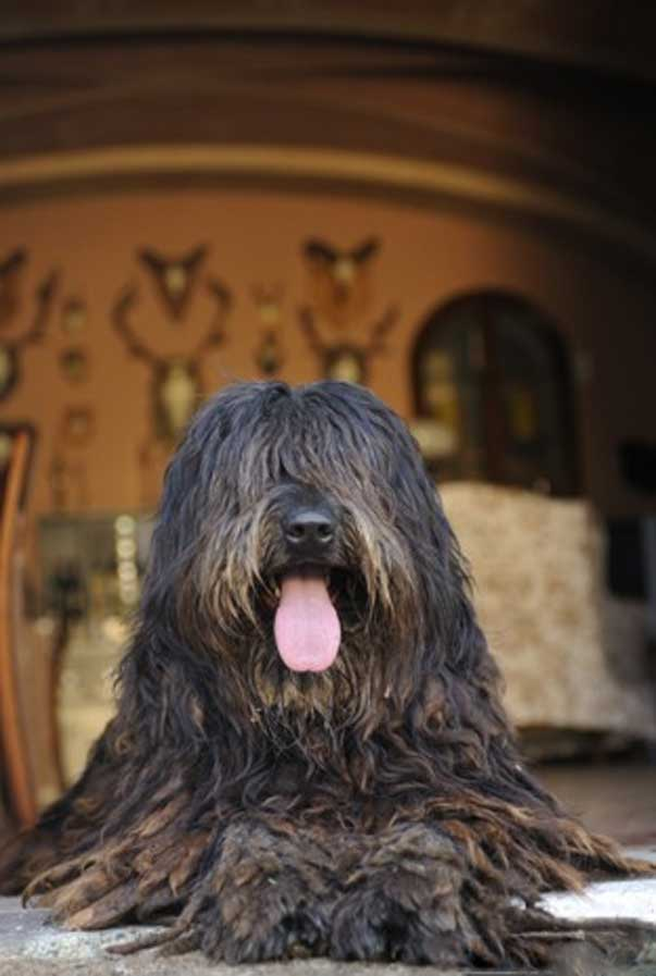 Il vero standard del cane da pastore bergamasco ti for Casa progetta il trotto del cane