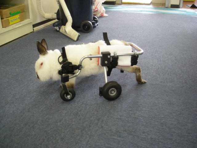 Animali disabili il carrellino non una sedia a rotelle for Sedia a rotelle per gatti