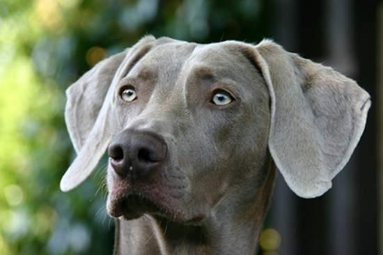 Il vero standard del weimaraner ti presento il cane - Cane occhi azzurri ...