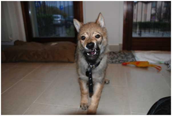 Perch ho scelto proprio un cane lupo cecoslovacco ti for Piani casa cane trotto
