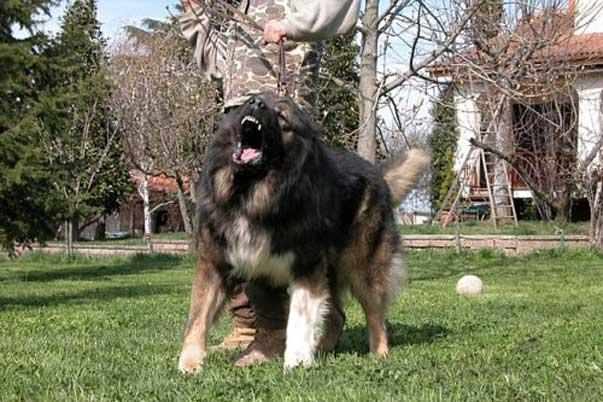 Il Vero Standard Delcane Da Pastore Del Caucaso Ti Presento Il Cane
