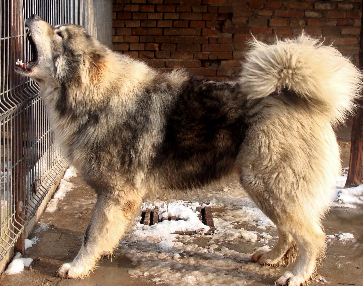 Il vero standard del cane da pastore del caucaso ti for Casa progetta il trotto del cane