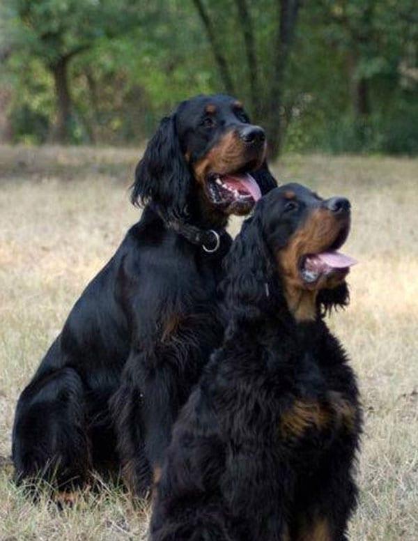 Il vero standard del setter gordon ti presento il cane for Cane setter