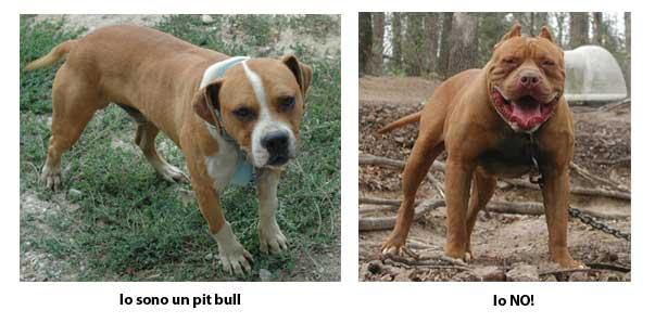 Persone Attaccate Da Pitbull.A Proposito Di Pit Bull E Di Altri Cani Con Una Cattiva Fama Chi