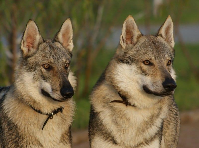 Attenti al lupo cecoslovacco di saarloos ecc ecc ti