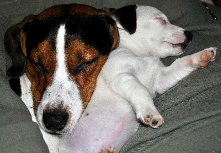 Il Jack Russell Istruzioni Per Luso Ti Presento Il Cane