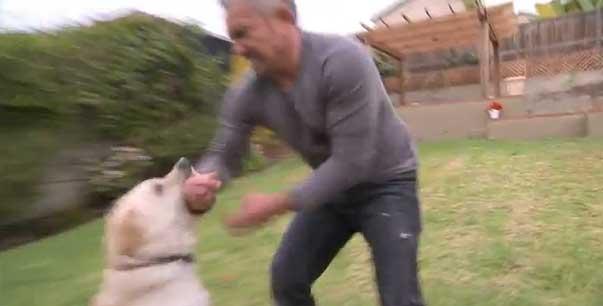 Cucciolo labrador morde mani